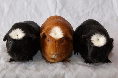 Crested guinea pig - photo#19