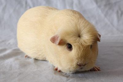 Crested guinea pig - photo#18